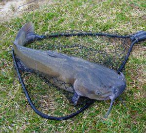 Pesca del pesce gatto